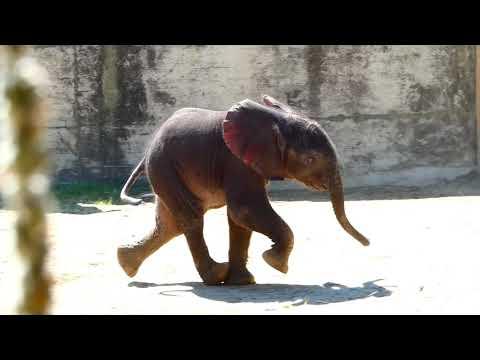 Welttierschutztag Tiergarten Schönbrunn Baby Kibali & Mama Numbi Elefant (Loxodonta africana) fz82