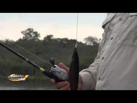 Pescaria De Trairão Amazônico