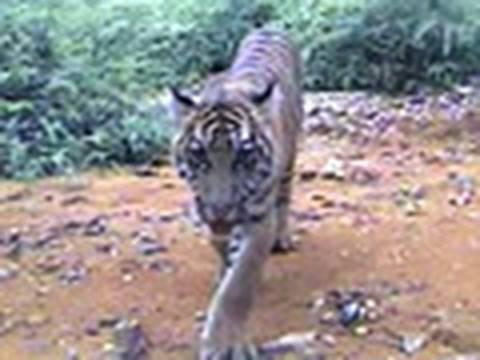 Rare Sumatran Tigers Caught on Camera