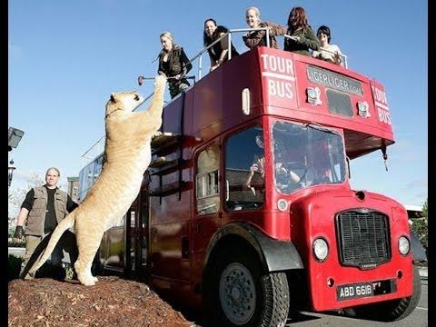 Maior tigre do mundo super felino cruzamento de tigre com leão
