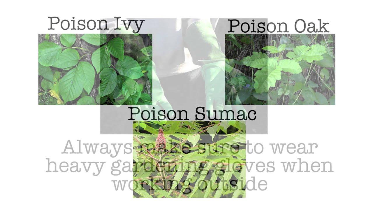 Poison ivy treatment