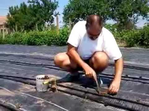 capsuni plantare.mp4