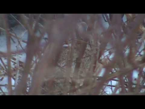 Traditional Rabbit Hunting Video