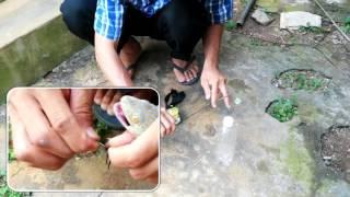 Cách bắt tắc kè đơn giản và hiệu quả (easy way to catch geckos)