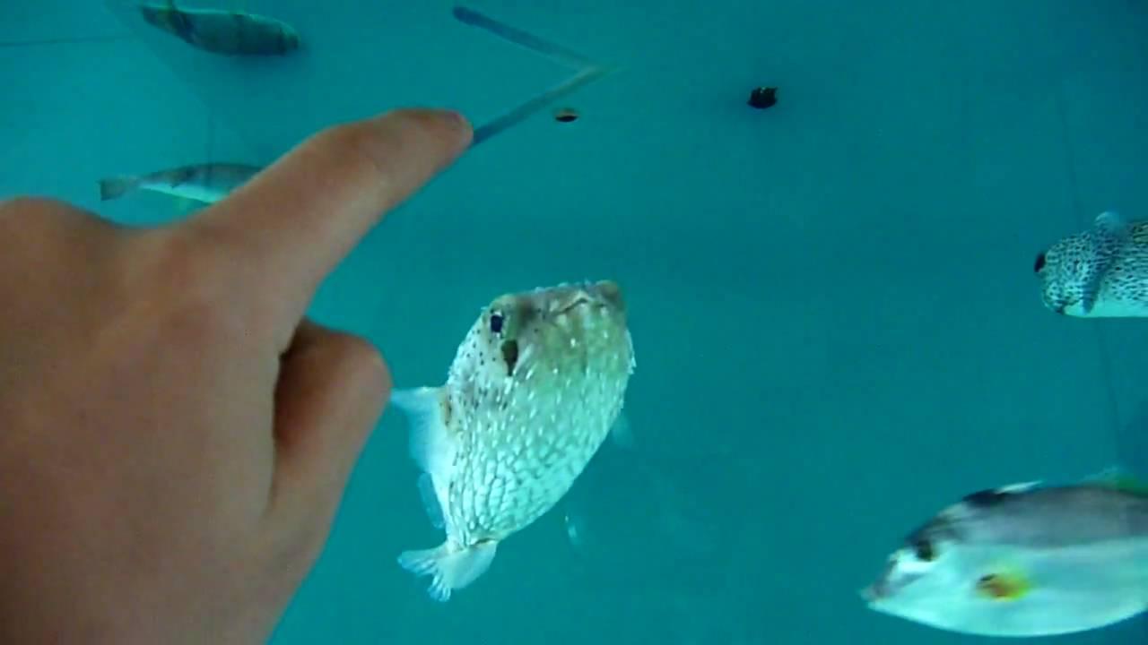 giant puffer fish puffed up - photo #20