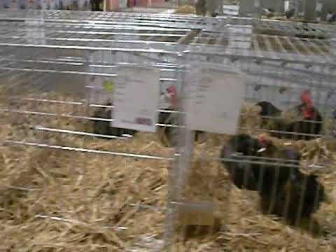 Gallinas Enanas en el V Campeonato de España de Avicultura