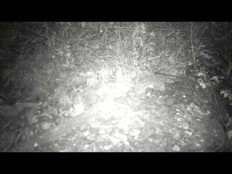 Wildlife Thailand - Rare footage of a Spotted Linsang