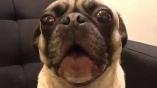 #meme#funny #humor #comedy Cute Pet Animal Funny Moment Happy Time Video 479