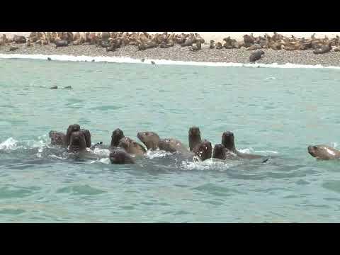 Nuestra Tierra RPP: Lobos marinos en islas de Paracas