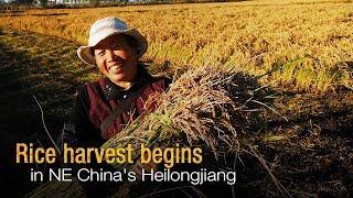 Live: Rice harvest begins in NE China