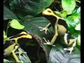 Wild dances by Poison Dart Frogs