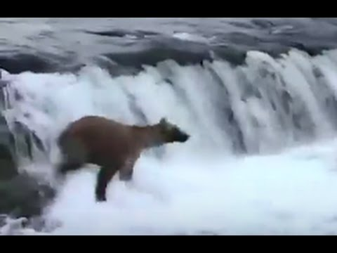 Mama Bear Jumps Into River to Save 3 Cubs