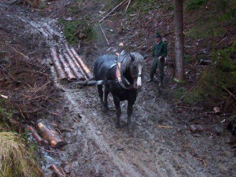 Sturmholz beseitigung mit Pferden!