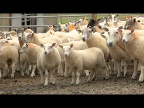 Trevor Quirk tells us about his prize-winning farming methods at Corvalley Farm on the Isle Of Man Filmed and edited by http://www.yourwebvideo.com Commissio...