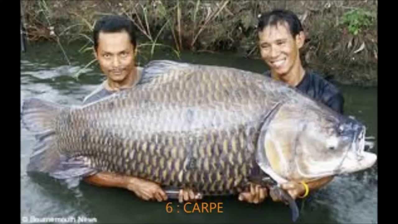 Top 10 des plus gros poissons du monde youtube - Peche du poisson chat au coup ...