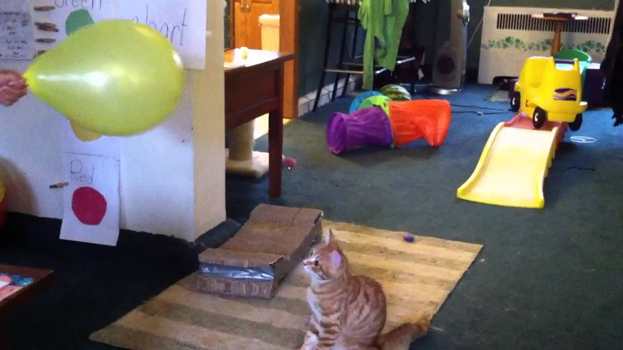 [Cat versus balloon] Video