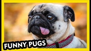 Amazing Pug Videos - Funny Dogs Part 2
