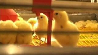 Почему цыплята - бройлеры так быстро растут?