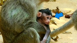 Congratulation! New Born Baby Monkey, Zena Get Better Than Yesterday|  So Happy To See That