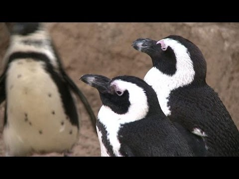 Lesbian Penguin Couple Finds Happiness At Israeli Zoo video