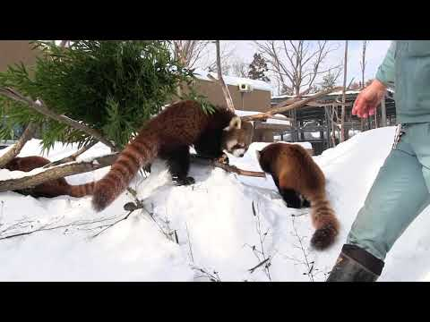 Red Pandas are obsessed with apple〜リンゴに夢中のレッサーパンダ