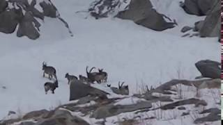 ibex hunting in gilgit baltistan