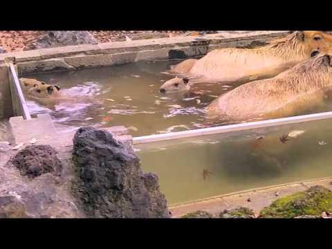 仔カピたちのカピバラ温泉練習風景2