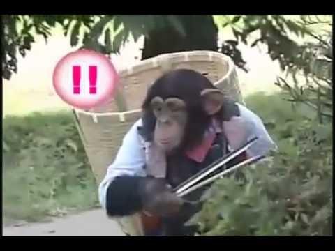 Khỉ dắt chó đi hái quả Coi và cười té ghế :))