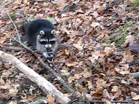 trapping  raccoon