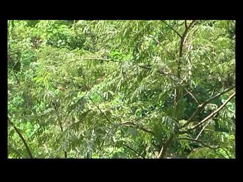 Suara Ayam Hutan Hijau Di Hutan Buatan Fip-unnes Gd.a2 Kampus Sekaran Semarang video