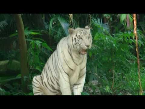 水浴びをしているホワイトタイガーさん@シンガポール動物園