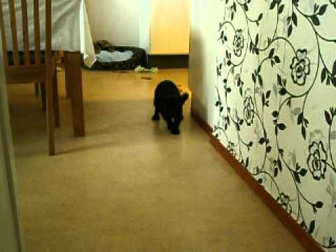 French bulldog Arny (AKA Booba) and the vacuum cleaner thumbnail