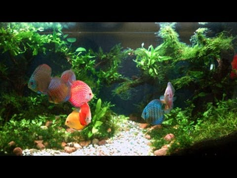 Discus Eating And Spitting Out Food