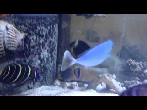 Powder Blue Tang $119 - Sri Lanka video