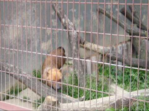 【動物園シリーズ】きゅーんと鳴く!アナグマくん!