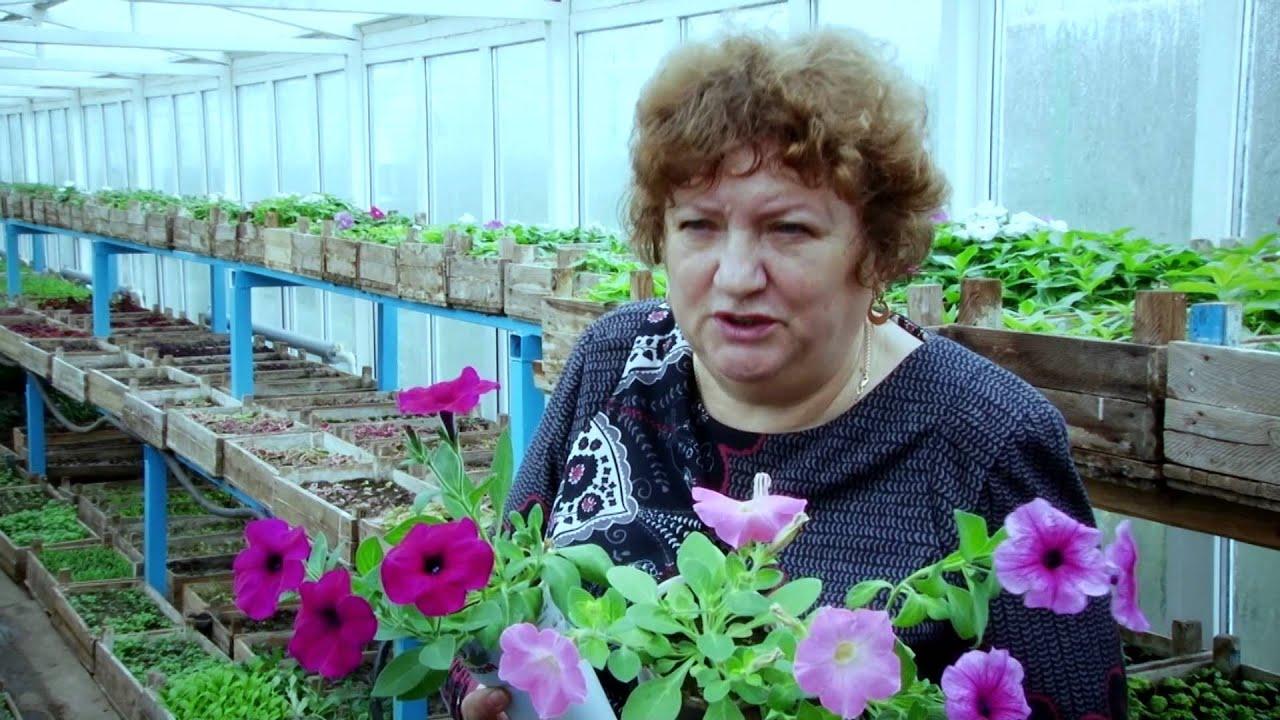 Выращивание петунии в теплице из семян 7220