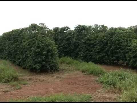 Produção de café deve ficar abaixo da expectativa dos produtores em 2013