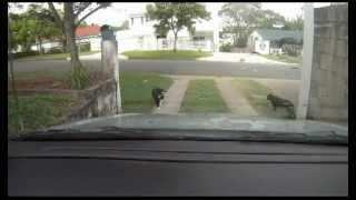 Dog Breaks Up Cat Fight