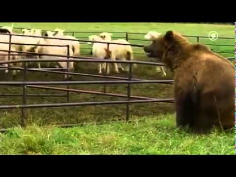 Sheepdog saves his flock from a bear attack
