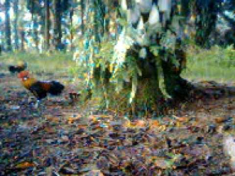 Edisi mikat ayam hutan 6