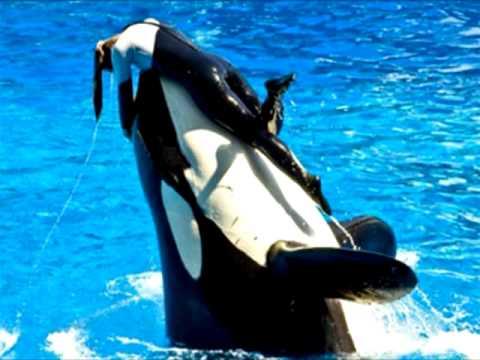 Dawn Brancheau Attack Footage Killer Whale drowns tr...