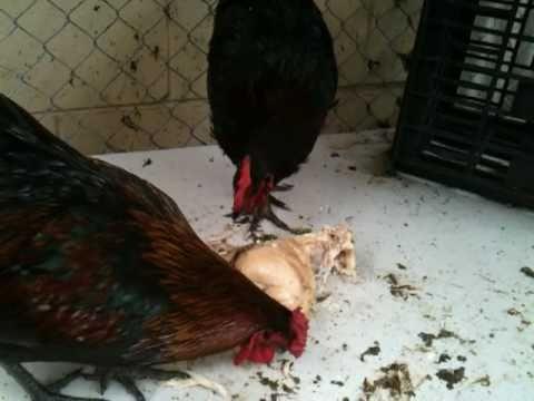 Chicken Chicken Chicken Chickens Eating Chicken