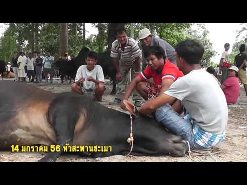 วัวชน By วัวชนดอทคอม 14012556เปรียบ