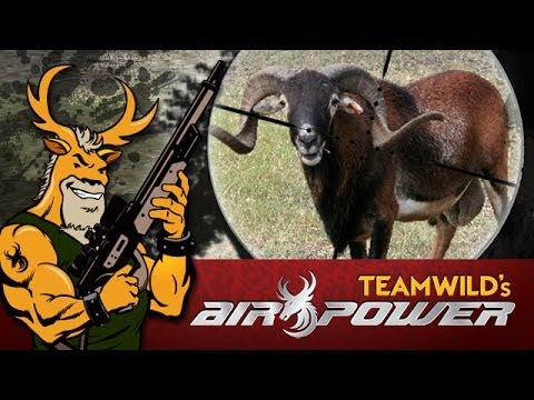 EXTREME Airgun Hunting - Black Corsican Ram with the Benjamin Rogue
