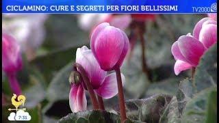 Ciclamino: cure e segreti per fiori bellissimi