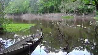 Wild fishing to catch giant snakehead