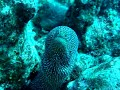 Rarotonga diving, Speckled Moray