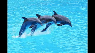 download lagu Dolphin Show Taman Safari Cisarua Indonesia - Lumba Lumba gratis