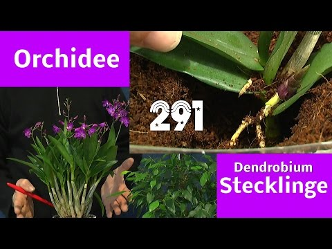 Orchidee durch Stecklinge vermehren Dendrobium berry oda