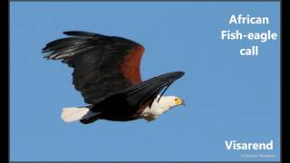 African fish eagle drawing